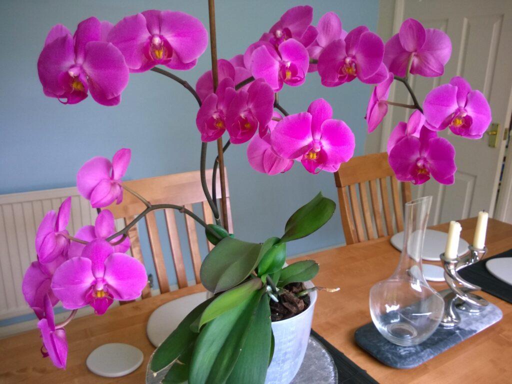 Orkide nasıl bakılır
