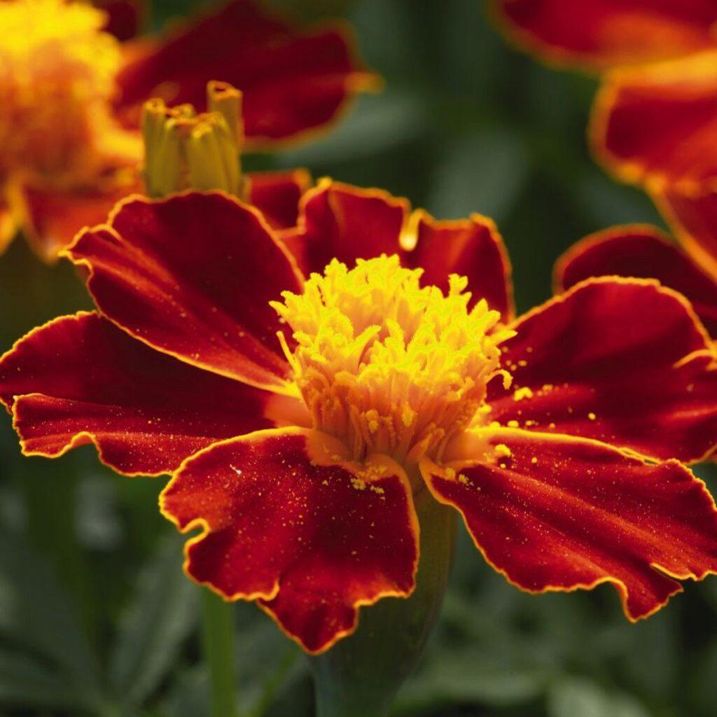 Kadife Çiçeği Bakımı İpuçları ve Faydaları
