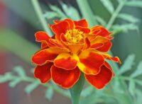 Kadife Çiçeği Bakımı İpuçları